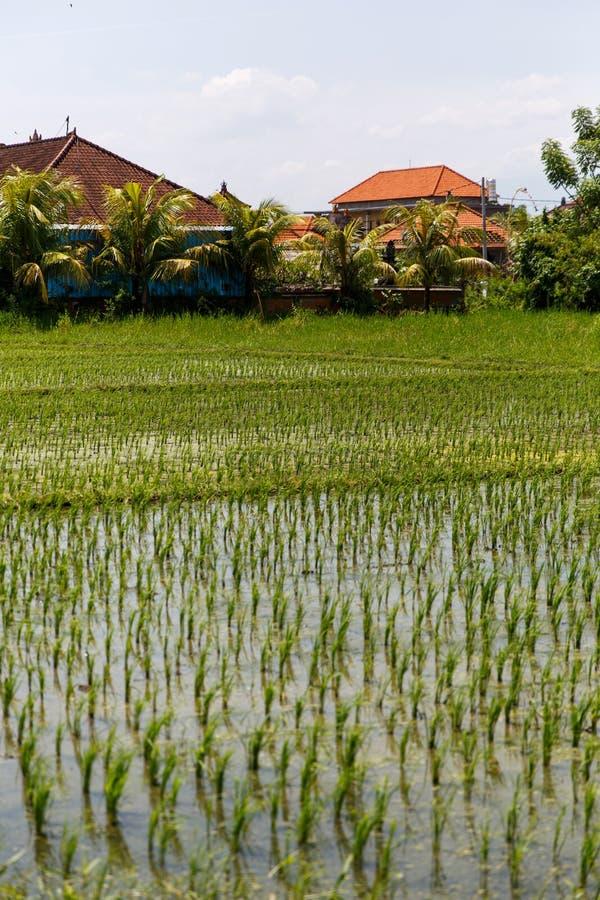 Paddy-fält med spets på bakgrunden arkivbild