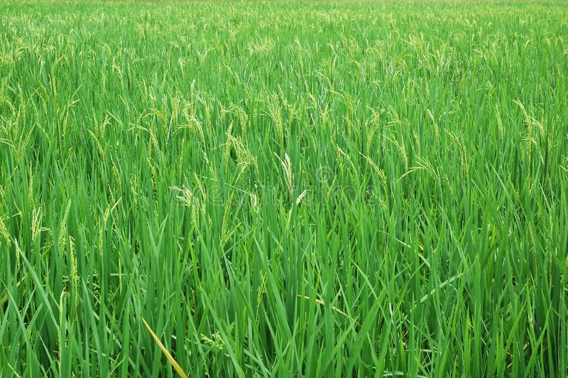 Paddy Farm stock images