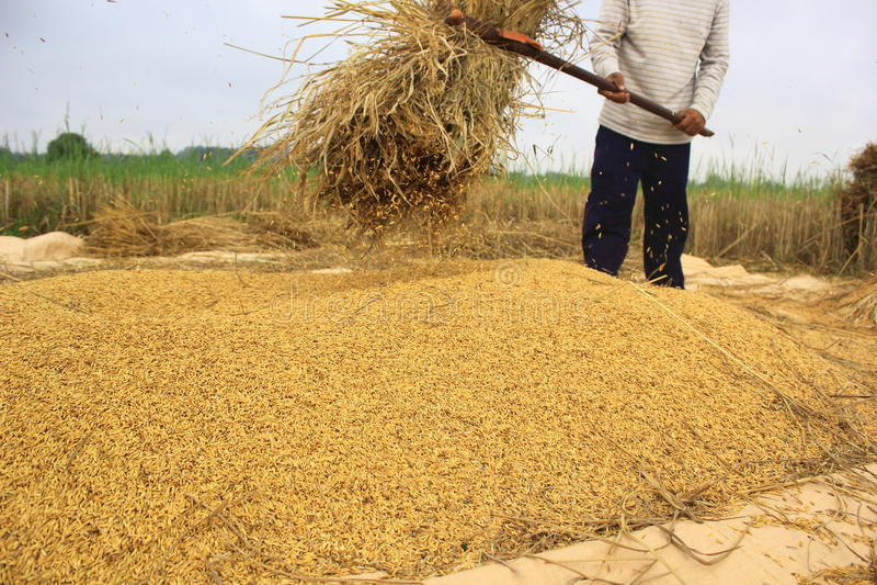 Paddy from farmer. stock photo