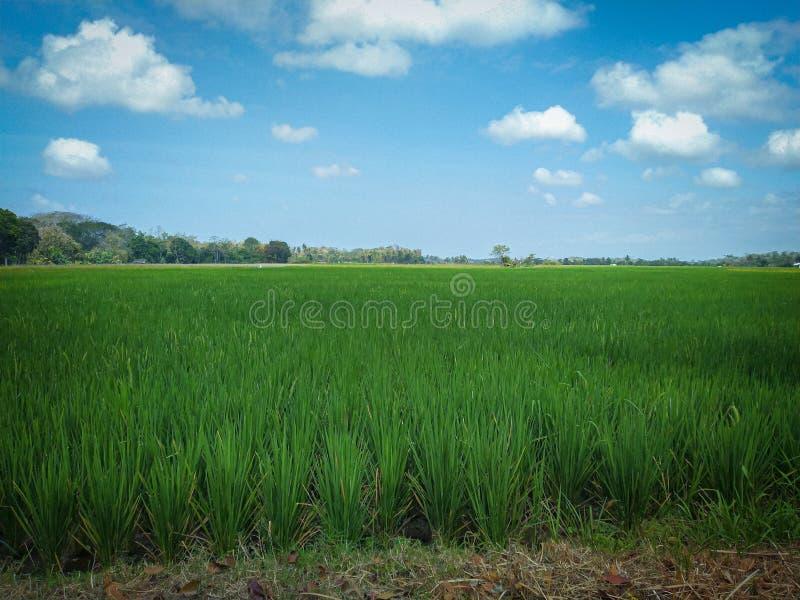 Paddy-Feld schöne Sicht auf die Augen lizenzfreies stockbild