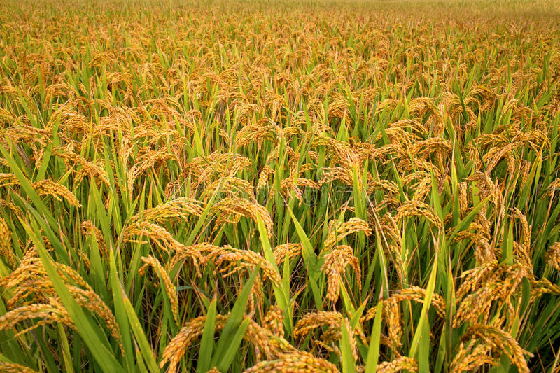 The Future Of Rice