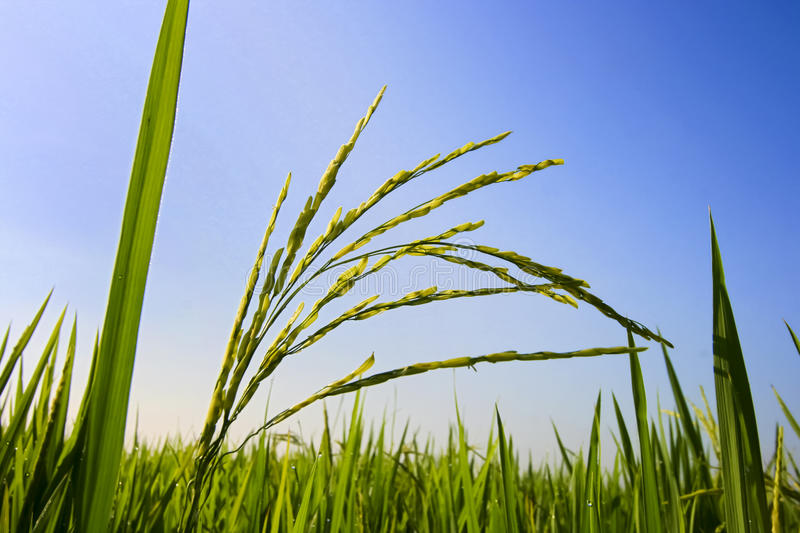 Download Paddy Field stock image. Image of environment, asian - 18698185