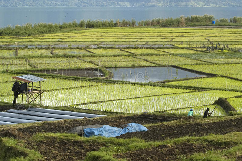 Download Paddy field stock image. Image of paddy, crop, field - 22274293