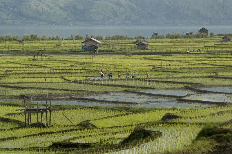 Download Paddy Field Royalty Free Stock Images - Image: 22274759
