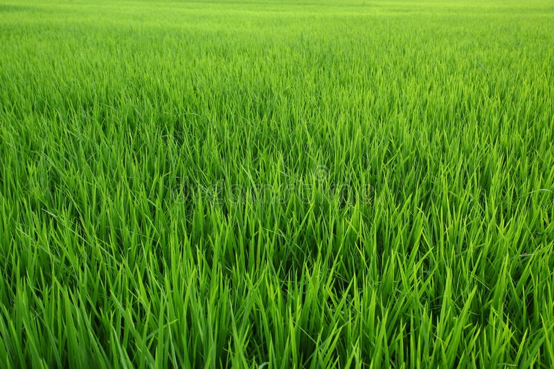 Download Paddy  field stock photo. Image of growth, agriculture - 28440606