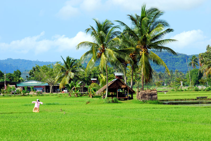 Download Paddy field stock photo. Image of paddy, langkawi, malaysia - 3200494
