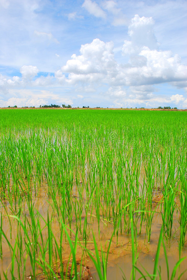 Download Paddy Field stock photo. Image of green, country, paddy - 3711404