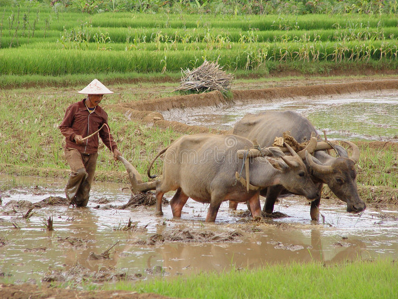 On the Paddy-field royalty free stock images