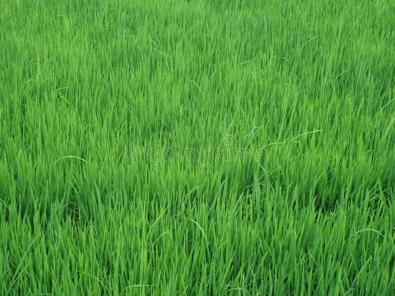Paddy Field stockbilder