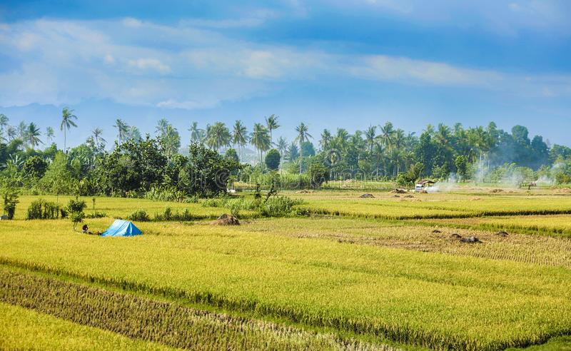 Paddy Field, Field, Agriculture, Grassland royalty free stock images