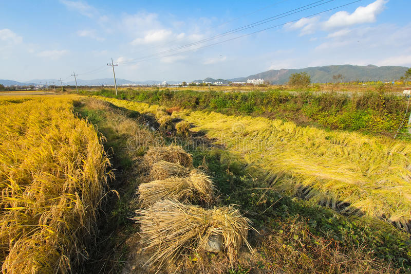 Paddy field in Asia. A golden paddy field in Korea royalty free stock image