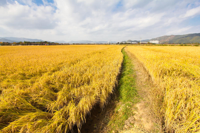 Paddy field in Asia. A golden paddy field in Korea royalty free stock photos
