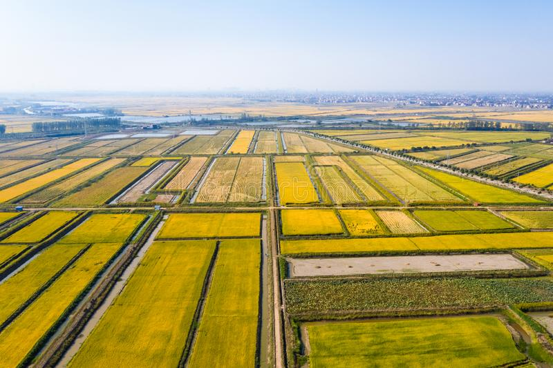 Paddy field in autumn. Aerial view of paddy field in autumn stock photography