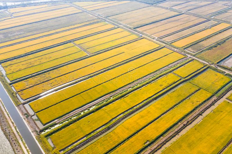 Paddy field in autumn. Aerial view of golden paddy field in autumn stock photography