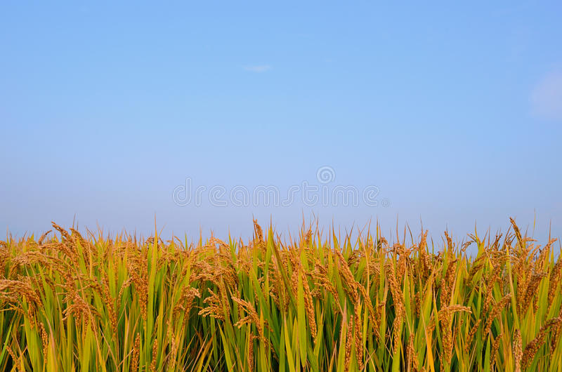 Paddy field in autumn royalty free stock photography