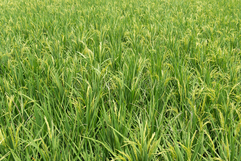 Download Paddy field stock photo. Image of plantation, grain, crop - 34379356