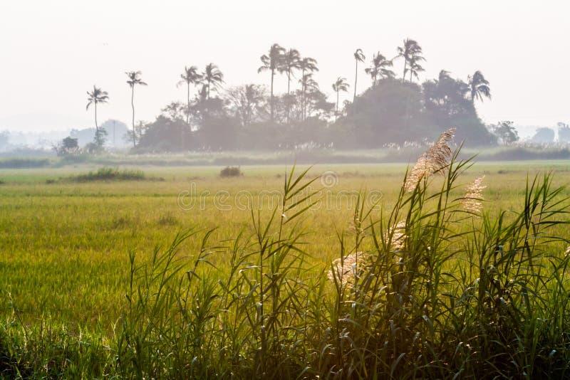 Paddy Field. With coconut tree in Kerala, India stock photos