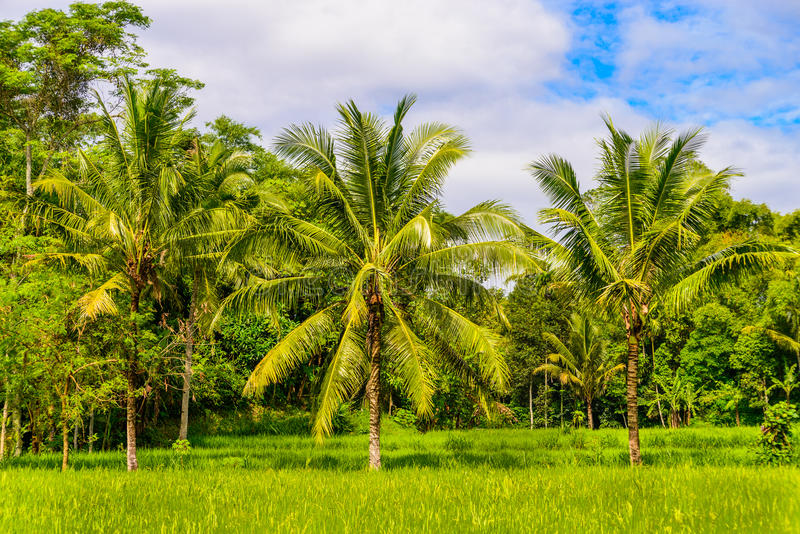 Paddy field with coconut trees in Indonesia. Indonesian farmer usually planted coconut trees beside their paddy fields. Photo was taken in Jember, Indonesia stock photo