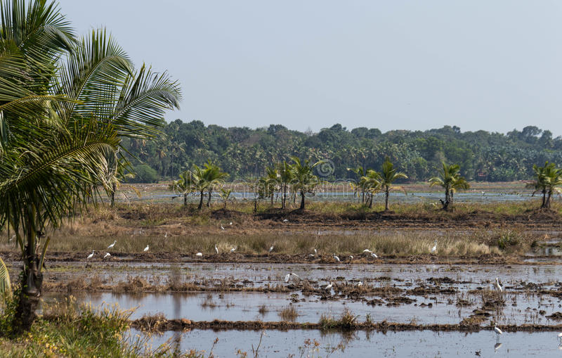 Paddy field with coconut trees and white herons stock photo