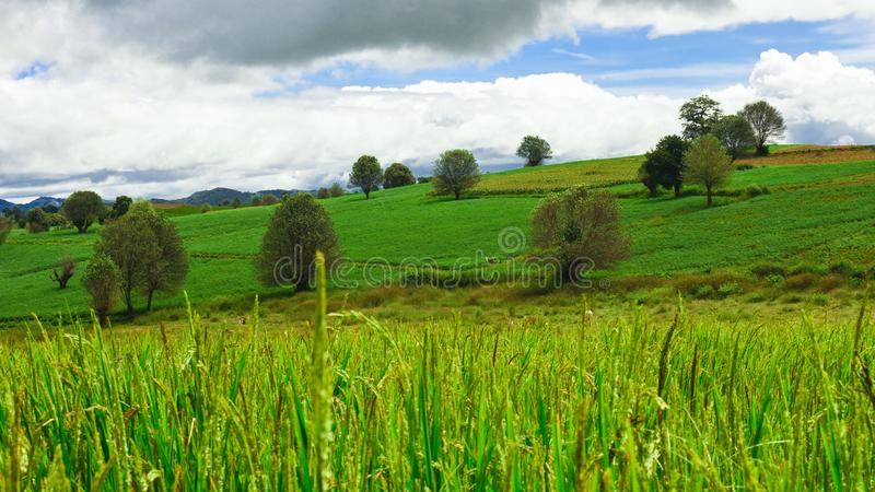 Paddy Field e la collina verde fotografia stock