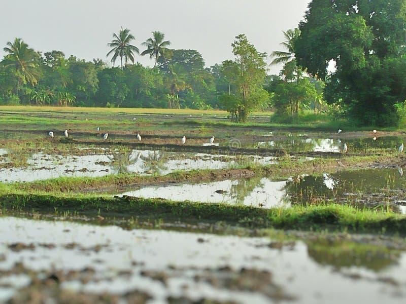 Paddy Field em Sri Lanka imagem de stock
