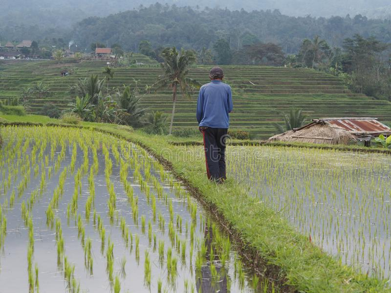 Paddy field, farmer observing the irrigations in Bali, Indonesia stock photos