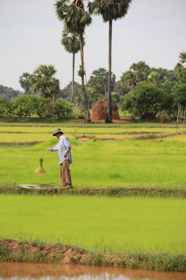 Paddy Field, Feld, Landwirtschaft, Gras stockfotos