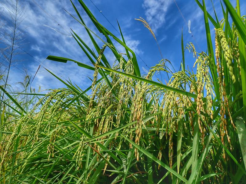 Rice ripe paddy field ready for harvest season. A paddy field is a flooded parcel of arable land used for growing semiaquatic rice. Paddy cultivation should not stock images