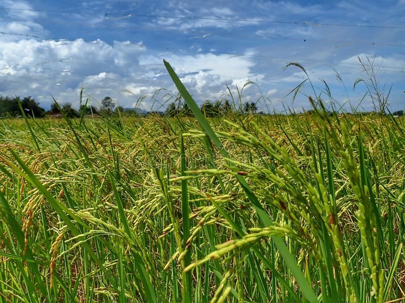 Rice ripe paddy field ready for harvest season. A paddy field is a flooded parcel of arable land used for growing semiaquatic rice. Paddy cultivation should not royalty free stock photo