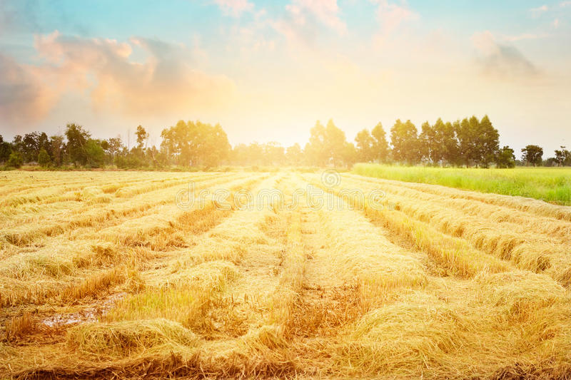 Paddy field after harvest and some still growing up in the morning or evening time background royalty free stock image