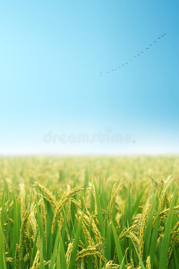 Free Paddy Field In Autumn Royalty Free Stock Images - 13751669