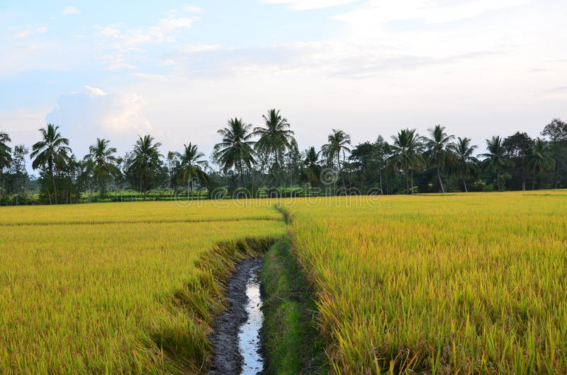 Paddy field irrigation canal. Golden paddy field and the irrigation canal splitting the field royalty free stock photos