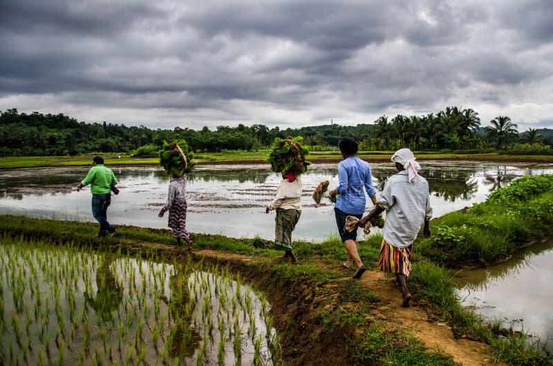 Paddy Field Kerala, Indien stockbilder