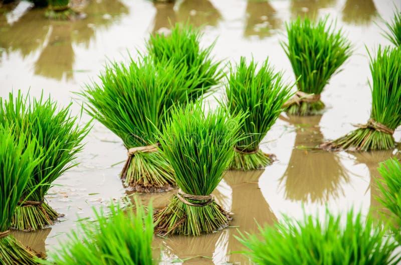 Paddy Field Kerala Indien arkivfoton