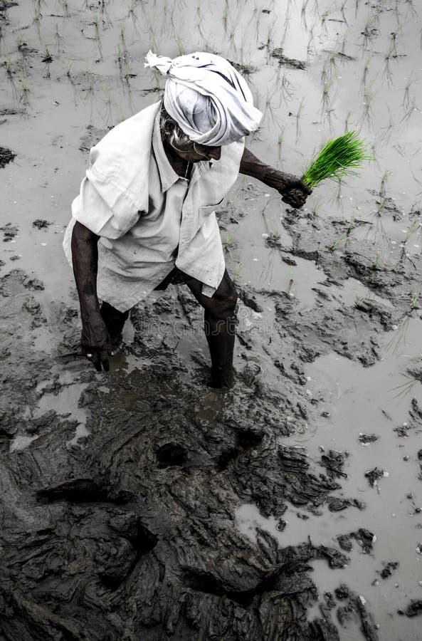 Paddy Field Kerala, Indien stockbild