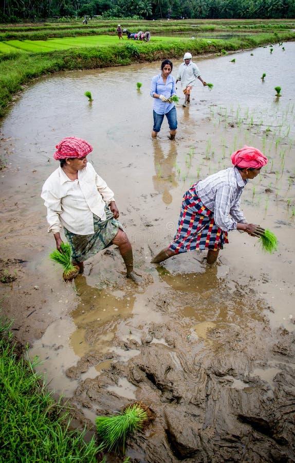 Paddy Field Kerala Indien royaltyfri bild