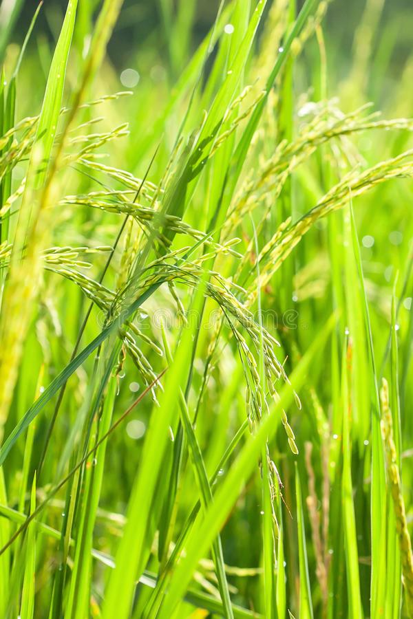 Paddy field with morning dew at sunrise, beautiful glittering of dewdrop. Close, transparent ears of paddy in bright sunlight stock photos