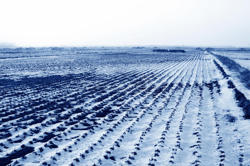 Paddy field natural scenery in the snow royalty free stock photo