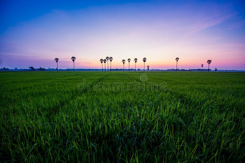 Paddy field with palm trees and sunrise at Phatthalung Province. Thailand stock photo