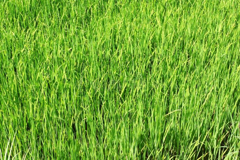 Download Paddy field, rice stock image. Image of urban, season - 17645877