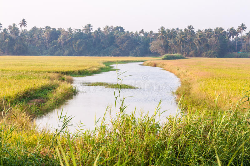 Paddy field with small river. In Kerala, India royalty free stock photo