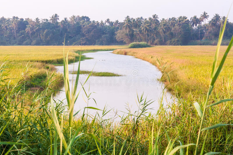 Paddy field with small river. In Kerala, India royalty free stock image