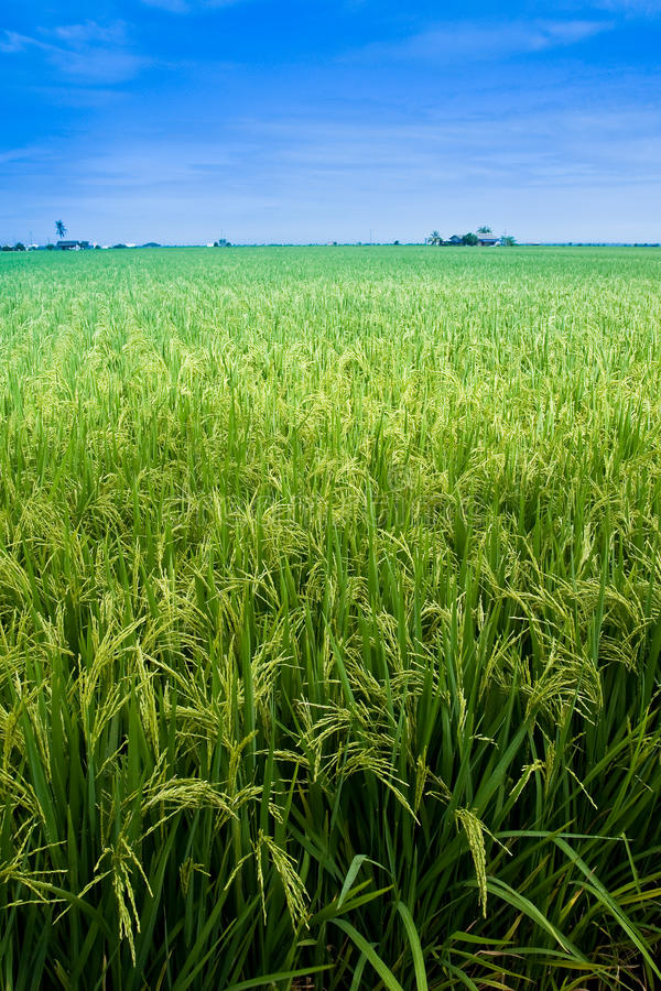 Paddy field with yet to ripen grain and blue sky royalty free stock photo