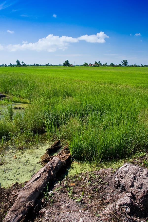 Paddy field with yet to ripen grain and blue sky