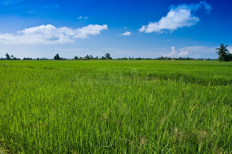 Download Paddy Field With Yet To Ripen Grain And Blue Sky Stock Image - Image: 11808383