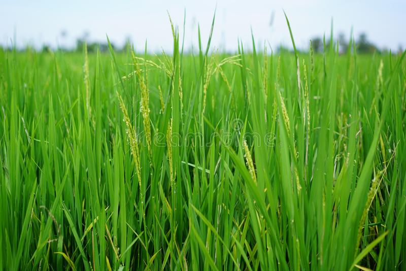 Paddy Rice Field. Paddy field are typically found on Peninsular Malaysia, in most of its regions. The most scenic paddy fields are located in northern Malaysia royalty free stock photo