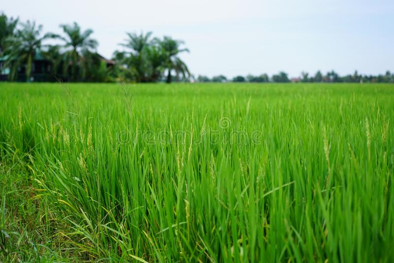 Paddy Rice Field. Paddy field are typically found on Peninsular Malaysia, in most of its regions. The most scenic paddy fields are located in northern Malaysia royalty free stock image