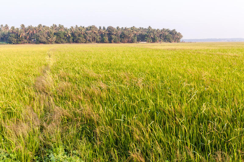 Paddy Field. Vast land of Paddy Field in Kerala, India stock image