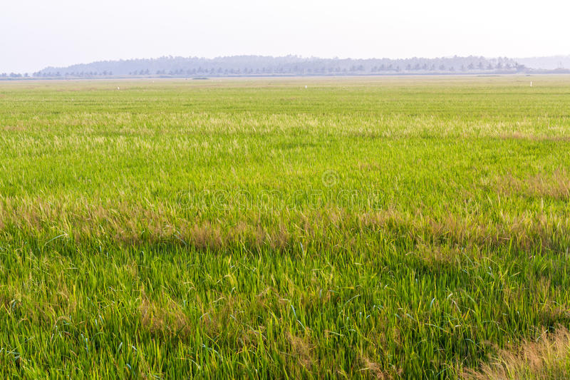 Paddy Field. Vast land of Paddy Field in Kerala, India stock photos