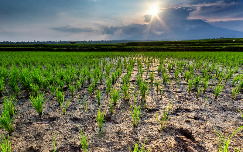 The paddy field royalty free stock photo